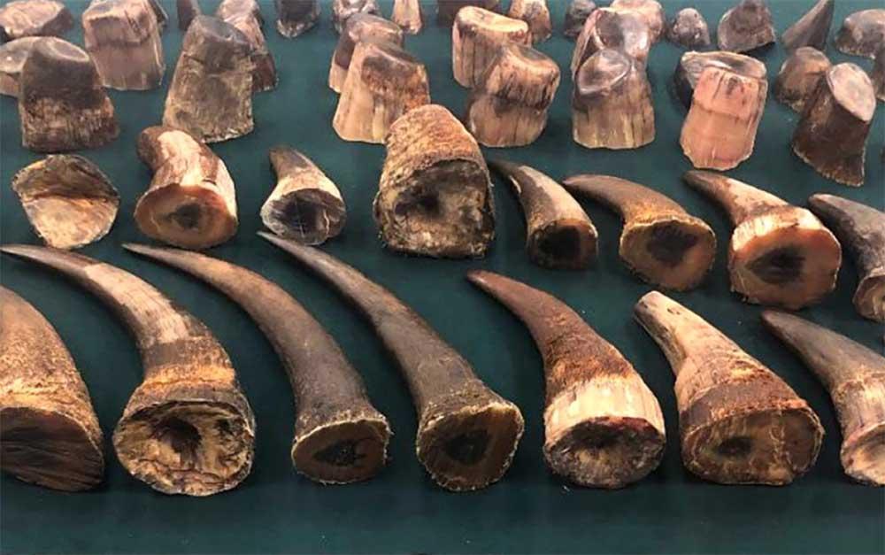 Rhino horn bust at OR Tambo